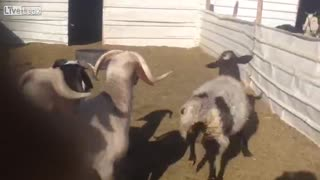Goats sees baby lamb for the first time - Video