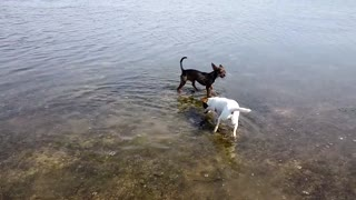 Chihuahua puppies playing in the sea