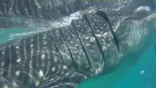 Swimming with whale sharks - Video