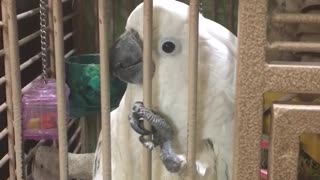 Jealous Cockatoo interrupts conversation on purpose - Video