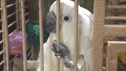 Jealous Cockatoo Interrupts Owner's Conversation On Purpose