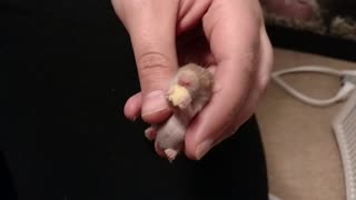 Adorable baby hamster snacks on tiny treat