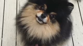 Adorable Pomeranian head tilts  - Video