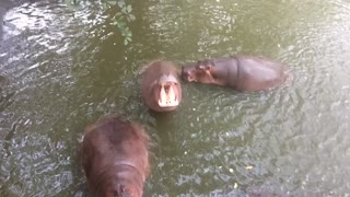Feeding the Hippo - Video