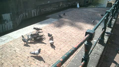 An abundance of Pigeons eating day old bread