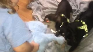 Toddler plays tug-of-war against two chihuahuas