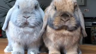 Bunny rabbits chewing food is an extreme cuteness overload