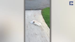 Adorable Puppy Struggles To Carry Newspaper - Video