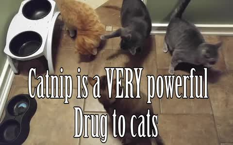 Everything to know about the effects of catnip