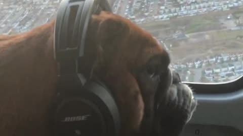 Dogs and guinea pigs enjoy helicopter ride