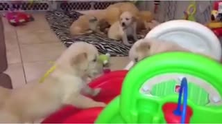 Adorable Golden Retriever puppies play on slide