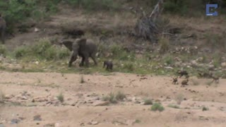 Incredible Footage Of Elephants Protecting Their Calf From Wild Dogs - Video