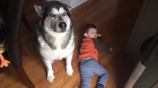 Alaskan Malamute Prays before Breakfast  - Video
