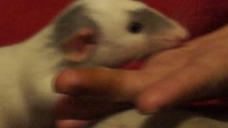 Dumbo Rat cleaning bandage off finger.