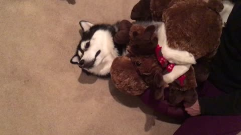 Siberian Husky Cuddles with Stuffed Moose