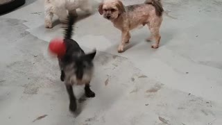 Dog throwing his own ball  - Video