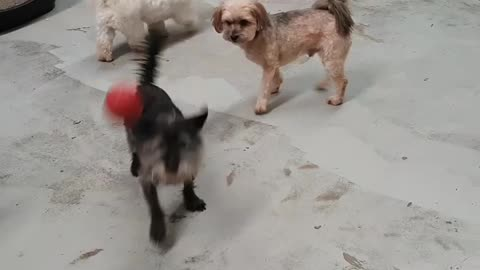 Dog throwing his own ball