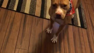 "Pitbull loves hearing the words ""bye bye""  - Video"