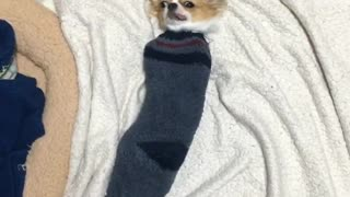 Tiny chihuahua fits inside sock - Video