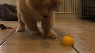 Puppy totally skeptical of harmless lemon - Video