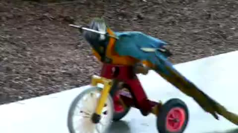 Funny Animals - Parrot riding a tricycle