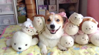 This Corgi is guaranteed to make you smile!
