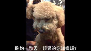Poodle enjoys massage