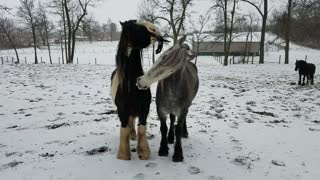 Funny Friesdale horses steal Mom's gloves