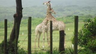 Two Iconic Giraffes In A Baffling Love Or Hate Fight - Video