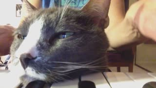 Cat rests helps owner play piano