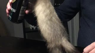 Baby ferret wants beer