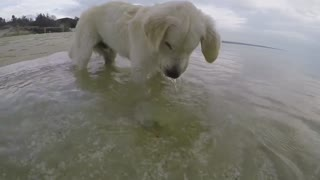 Cachorro de Golden Retriever bucea buscando cangrejos en el mar - Video