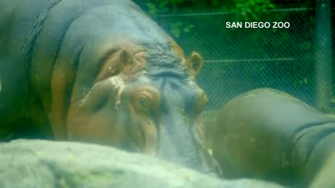 Baby hippo plays in pool at the San Diego Zoo