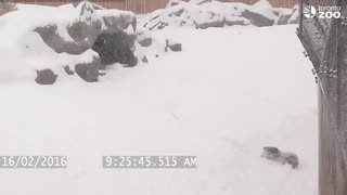Toronto Zoo giant panda tumbles in the snow - Video