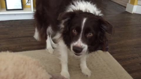 Collie 'Smiles' Every Time Owner Touches His Favorite Toy