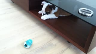Adorable Bulldog puppy named Walter - Video