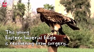 Wounded Eagle Learns To Fly Again - Video