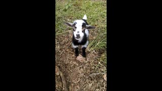 Inky the Goat Giving Big Smiles for the Camera - Video
