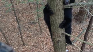 Bear Climbs Tree with Hunter - Video