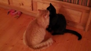 Orange cat licks black cat's head on wood floor - Video