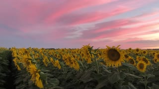 Sunflower field blossoms under majestic evening sunset - Video