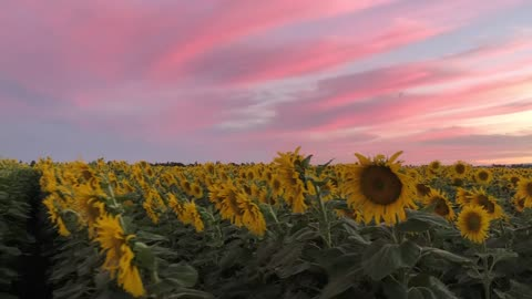 Sunflower field blossoms under majestic evening sunset