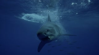Check Out This Face-To-Face Encounter With A Great White Shark - Video