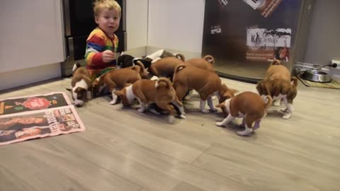 16 Basenji puppies having the time of their lives!