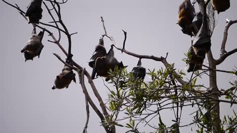 Amazing Bats Hanging On Branches