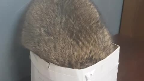 Raccoon Falls Out Of Box In Epic Fail Fashion