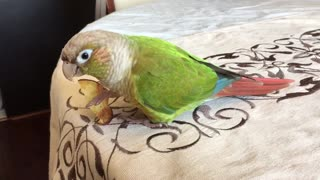 A conure and his chip  - Video
