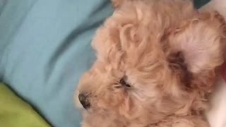 Sleepy Puppy Wakes up and doesn't know where she is