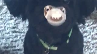 Dog with binky in mouth - Video