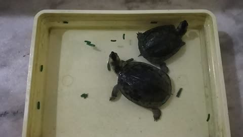 Tortoise food eating competition (Time-Lapse)!!!